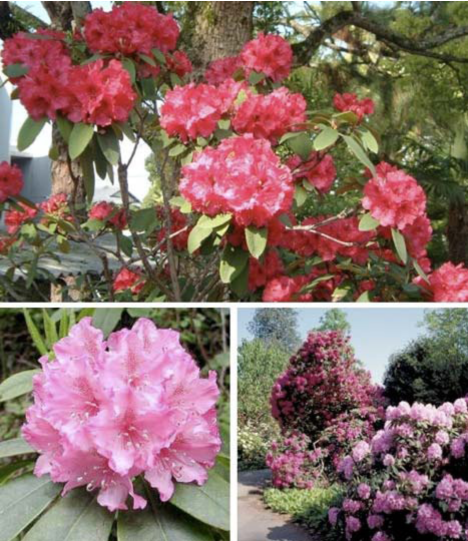 Plant - Rhododendron